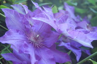 Flowers_Clematis_0002
