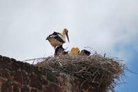 Bird_Stork_0001
