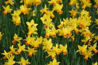 Flowers_Daffodil_0001