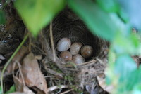 Bird_Robins Nest_0002