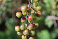 Fruit_Cherry