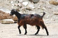 Animal_Goat_0003
