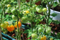 Fruit_Tomatoes_0001