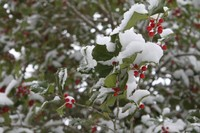 Snowy Holly Tree 01