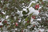 Snowy Holly Tree 01