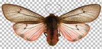 Butterfly (Phragmatobia fuliginosa)