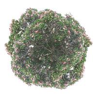 frangipani pink-plan