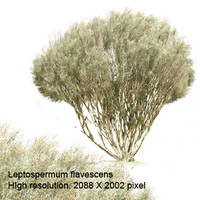 Leptospermum Flavescens