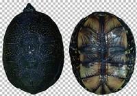 Pond Turtle Texture