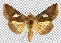 Butterfly (Autographa bractea)
