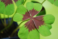 Four-leaf Clover_0001