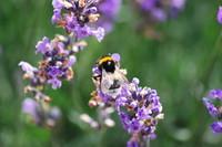 Flowers_Lavender_0002