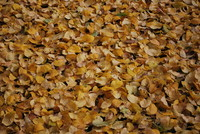 Autumn Gold_0001