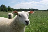 Animal_Sheep_0001