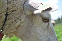 Animal_Sheep_0003