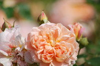 Flowers_Rose_0004