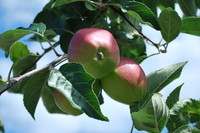 Fruit_Apple_0003