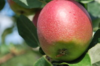 Fruit_Apple_0001