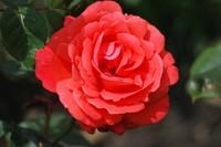 Flowers_Rose_0005
