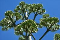Plant_Algave