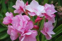 Flowers_Oleander_0001