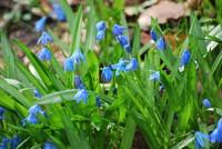 Flowers_Bluebell
