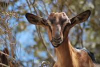 Animal_Goat_0002