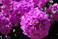 Flowers_Bougainvillea_0003