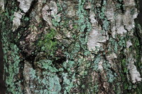 Bark_Texture Pack_0005
