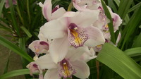 Flowers_Orchid_0003