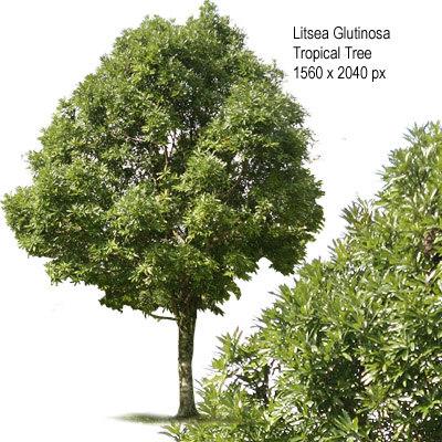 Litsea_Glutionosa_tgp400px.jpg