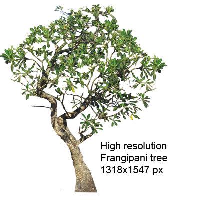 frangipani-400px-tgp.jpg