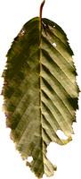 leaf31