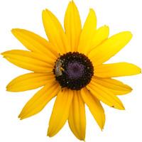 Yellow Flower w/Bee