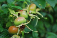 Fruit_Rosehip_0004