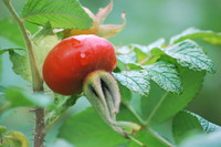 Fruit_Rosehip_0003