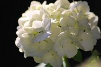 Flowers_Hortensia_0002