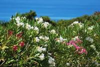 Flowers_Oleander_0002