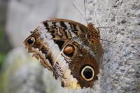 Butterfly_0006