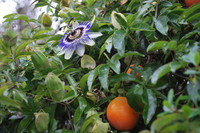 Flowers_Passion Fruit _0002