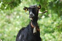 Animal_Goat_0001