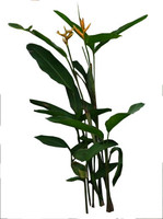 Heliconia rostrata 2
