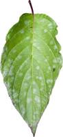 leaf 7