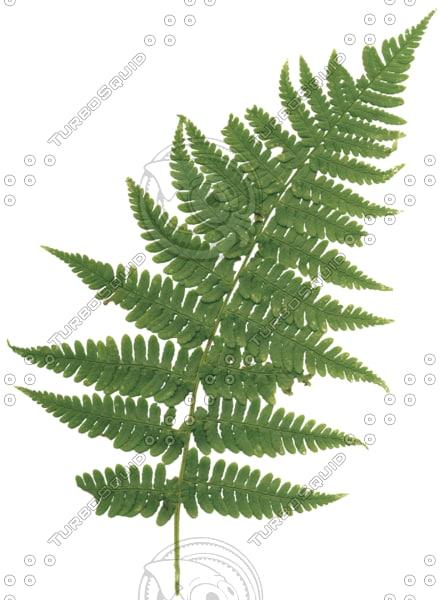 fern_leaf_01.png