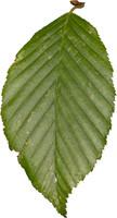 leaf12