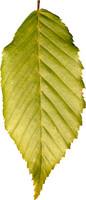 leaf30