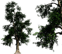 1 ash tree 03