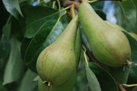 Fruit_Pear_0003