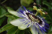 Flowers_Passion Fruit_0001