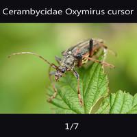 cerambycidae Oxymirus cursor